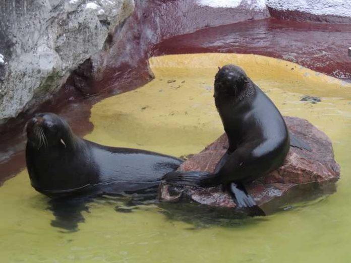 Seebären GONZO u. JACI Quelle: Zoo Landau