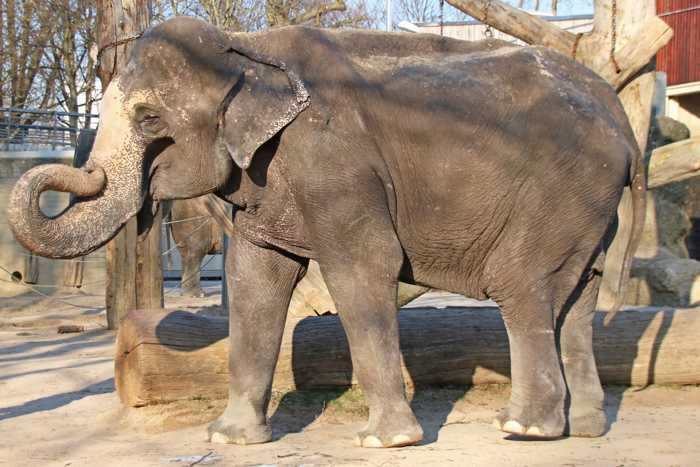 Bis zuletzt hatte Rani täglich das Außengelände der Elefantenanlage genutzt. Foto: Zoo Karlsruhe/Timo Deible