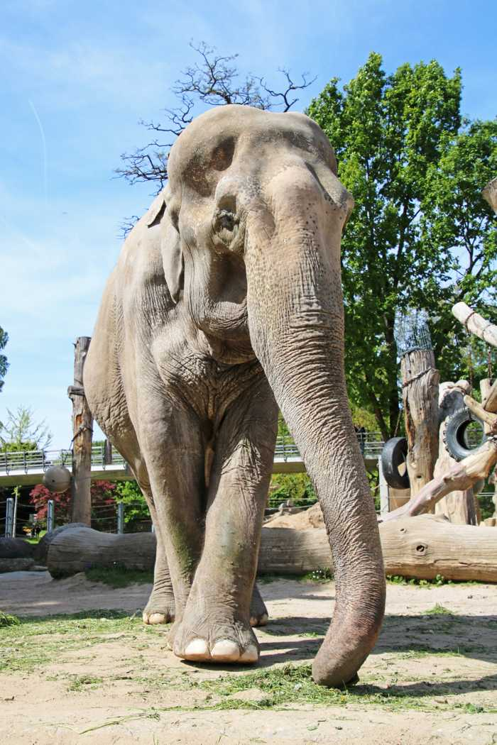Rani ist am Samstagnachmittag in der Altersresidenz für Asiatische Elefanten gestorben. Foto: Zoo Karlsruhe/Timo Deible