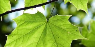Symbolbild Ahorn (Foto: Pixabay)