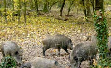 Wildschweine im Wildgehege Rappenwört (Foto: Hannes Blank)