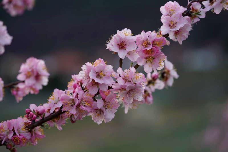 Mandelblüten (Foto: Holger Knecht)