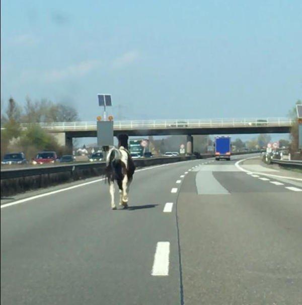 Pferd auf der Autobahn (Foto: Polizei RLP)