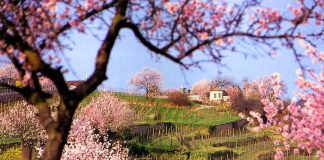 Mandelblüte in den Weinbergen von Gimmeldingen. (Foto: Rolf Schädler)