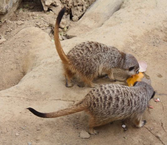 Erdmännchen (Foto: Zoo Frankfurt)