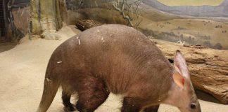 Erdferkel IRMO (Foto: Zoo Frankfurt)