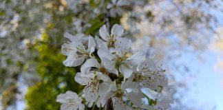 Kirschblüten (Foto: Pfalzmuseum für Naturkunde)
