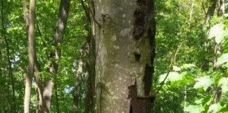 Erkrankter Baum im Haßlocher Wald - Rußrindenkrankheit (Foto: Gemeindeverwaltung Haßloch)