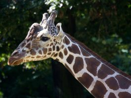 Giraffe HATARI (Foto: Andrea Leibfritz)