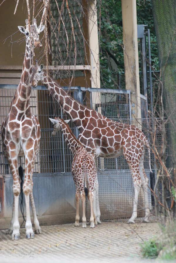 Giraffengruppe (Foto: Alexandra Fechar)