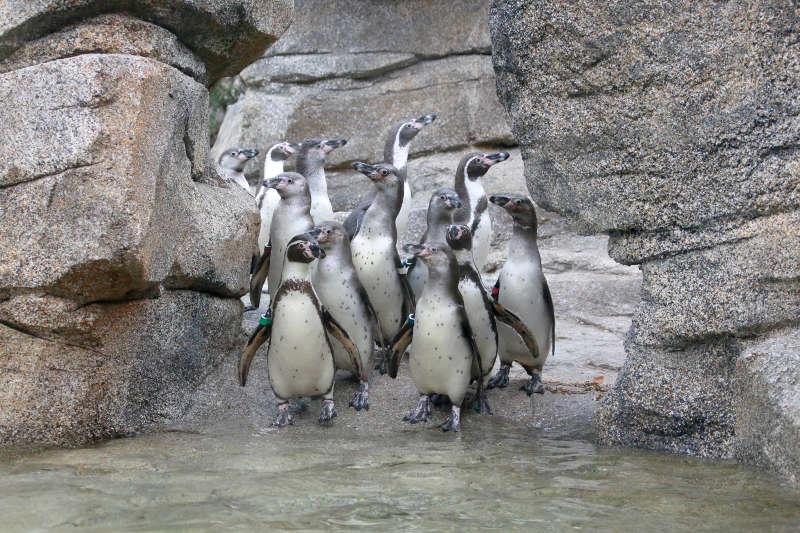 Humboldt-Pinguine auf der neuen Anlage (Foto: Matthias Besant)