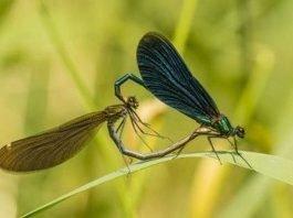 Blauflügel-Prachtlibelle (Foto: Landesforsten RLP/Jonathan Fieber)