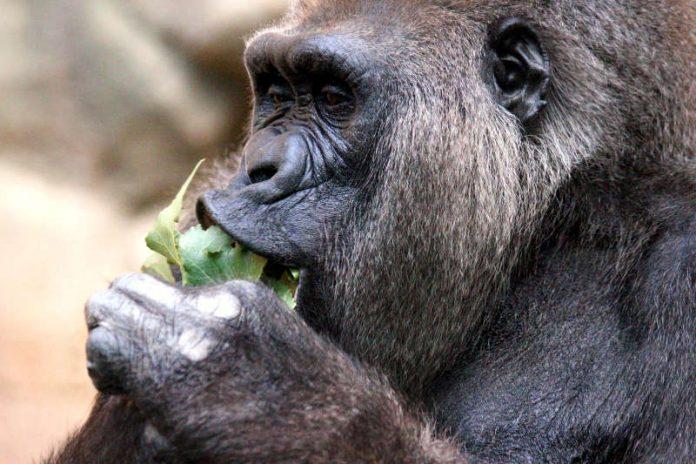 Gorilla (Foto: Wolfgang Daum)