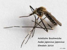 Aedes-japonicus_