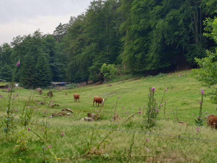 Gut für Mensch und Natur: Beweidung öffnet die Landschaft und schafft wertvolle Lebensräume, hier eine Fläche bei Lindenberg (Foto: Biosphärenreservat)