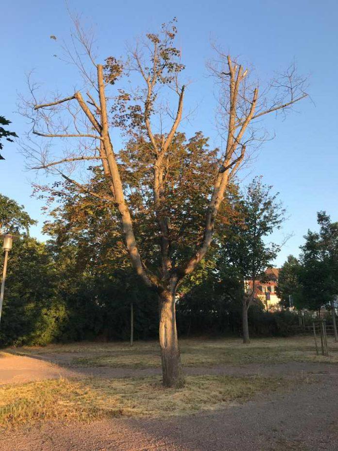 Baumfällungen in Speyer - Quelle Stadt Speyer