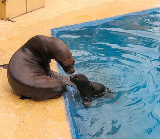 Der junge Robbenbulle Kano bei seinen ersten Schwimm- und Tauchübungen im kleinen Becken. (Foto: Zoo Heidelberg)