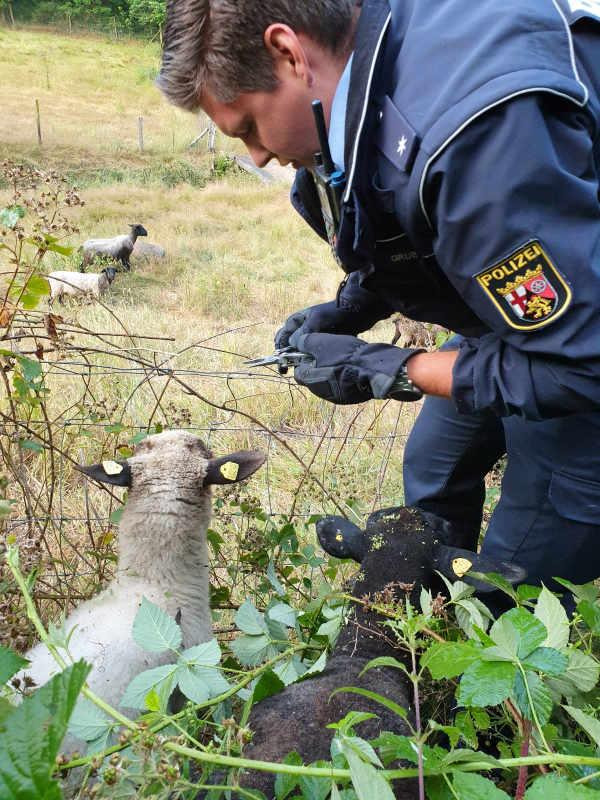 Die Polizisten trieben die Schafe auf ihre Weie (Foto: Polizeipräsidium Westpfalz)