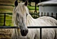 Symbolbild, Tiere, Pferd, Schimmel, Koppel, draussen © on Pixabay