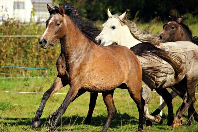 Symbolbild, Tiere, Pferde, drei, im Galopp, Koppel, Wiese © on Pixabay