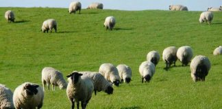 Symbolbild, Tiere, Schafe, Rhönschafe, Wiese © on Pixabay