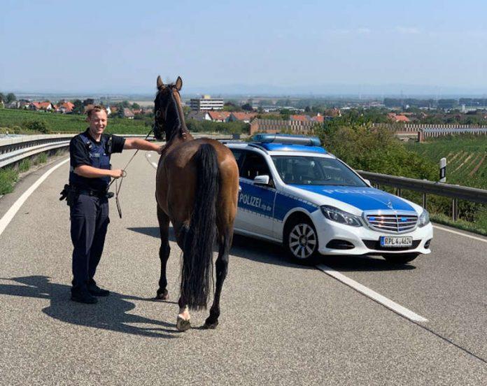Das eingefangene Pferd (Foto: Polizei RLP)