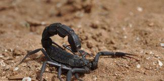 Skorpion der Gattung Androctonus (Foto: Markus Oulehla)