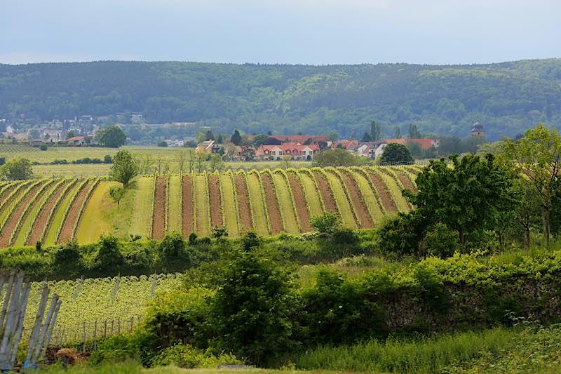 Monatsbild Juni: Rebenlandschaft mit Blick auf Dackenheim und Weisenheim am Berg (Foto: Melanie Hubach)