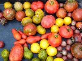 Nachhaltig und regional: Tomatenvielfalt (Foto: Biosphärenreservat)