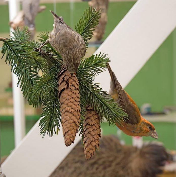 Fichtenkreuzschnäbel im Pfälzerwald-Raum der neuen Dauerausstellung. (Foto: Pfalzmuseum)