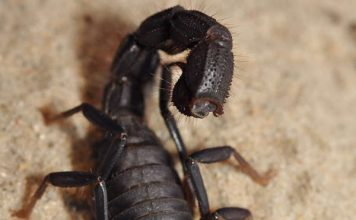 Fressender Skorpion (Foto: Markus Oulehla)