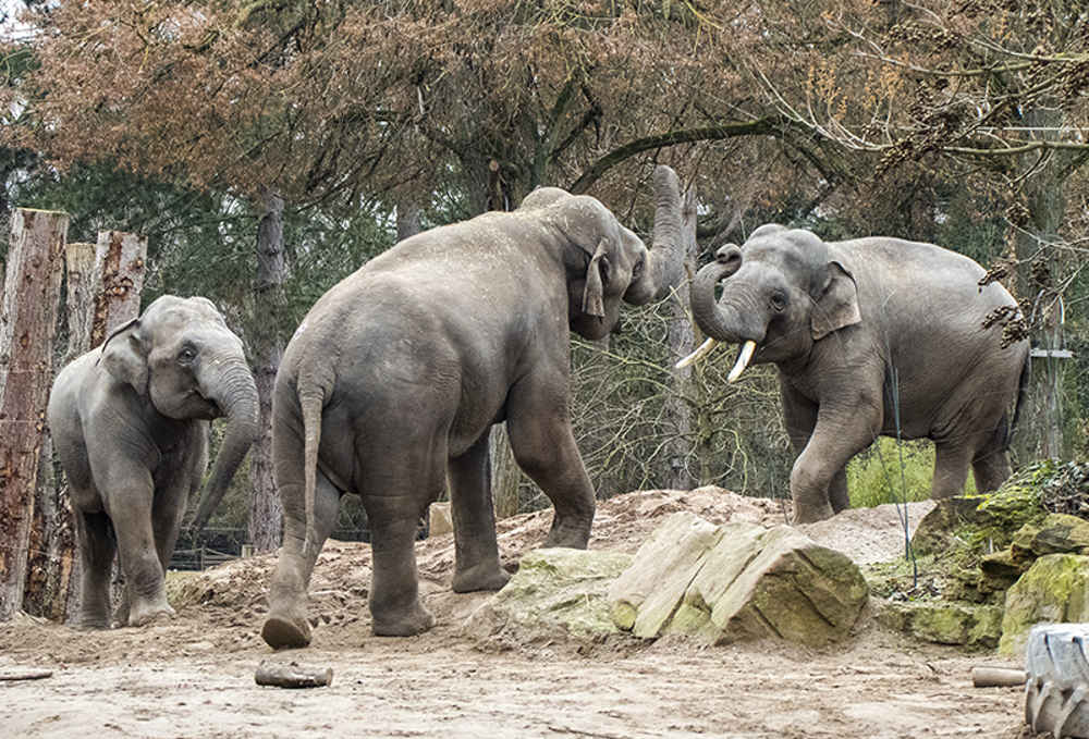 Elefanten Yadanar, Tarak und Ludwig (v.l) im Zoo Heidelberg (Foto: Susi Fischer/Zoo Heidelberg)