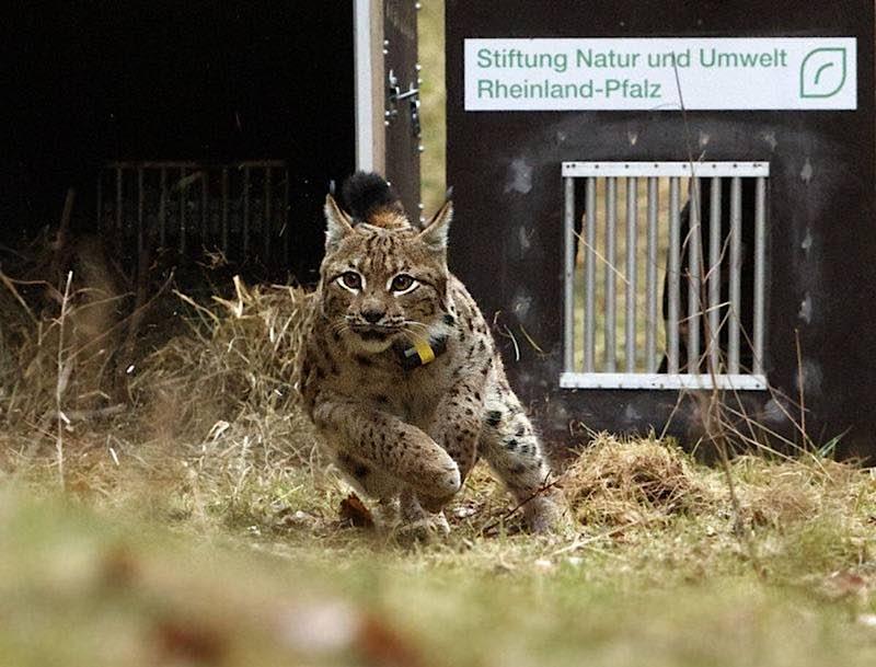 Luchs Juri (Foto: Cornelia Arens/KlickFaszination/SNU RLP)