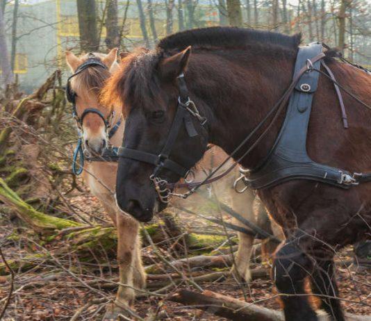 """Die beiden Wallache """"Filou"""", ein Norweger, und der Noriker """"Tamino"""" bei der Arbeit im Wald. (Foto: Manuela Fröhlich)"""