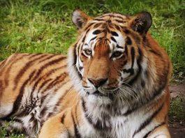 Symbolbild Tiger (Foto: Holger Knecht)