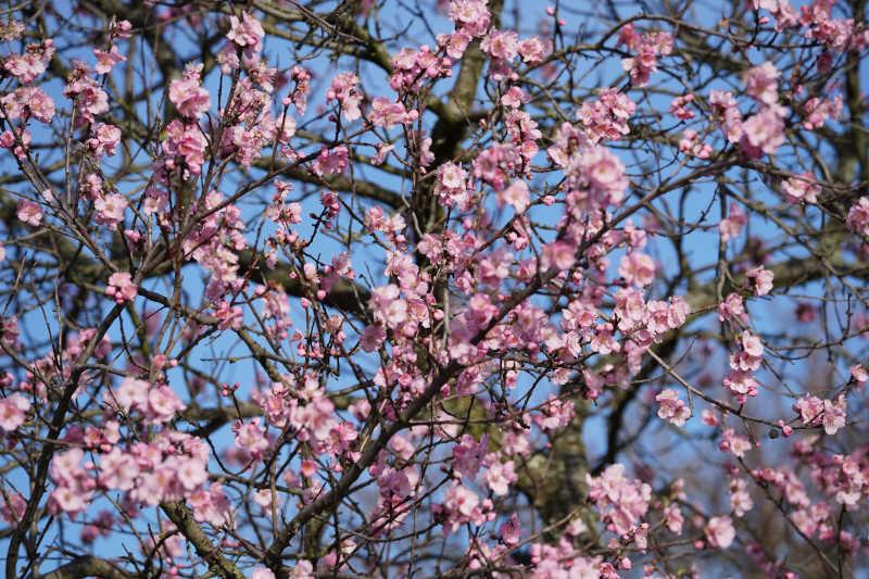 Neustadt Gimmeldngen Mandelblüten 2020 (Foto: Holger Knecht)