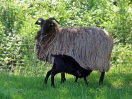 Landschaftspfleger und Lieferanten hochwertigen und leckeren Fleisches: Schafe und Lämmer auf den Wiesen des Pfälzerwalds (Foto: Biosphärenreservat/Norman P. Krauß)