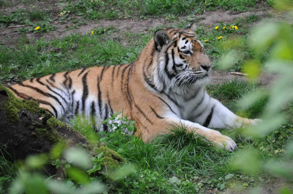 Tiger (Foto: Stadt Landau in der Pfalz)