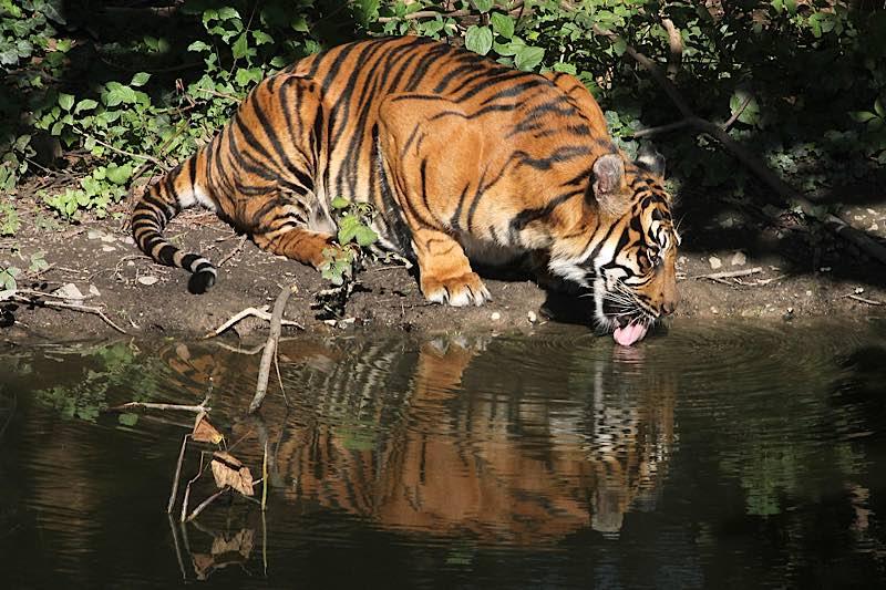 Tigerin MALEA (Foto: Matthias Besant)