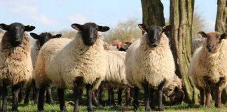 Symbolbild, Tiere, Schafe, Wiese, Herde, schwarzer Kopf und Beine, Fell beige dick lockig © on pixabay