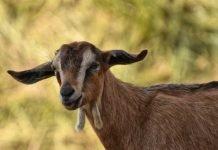 Symbolbild, Tiere, Ziege, braun, draussen © Alexas Fotos on Pixabay