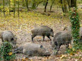 Wildschweine (Foto: Hannes Blank)