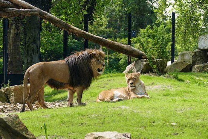 Berberlöwen im Zoo Heidelberg auf der neuen Löwenanlage (Foto: Heidrun Knigge/Zoo Heidelberg)