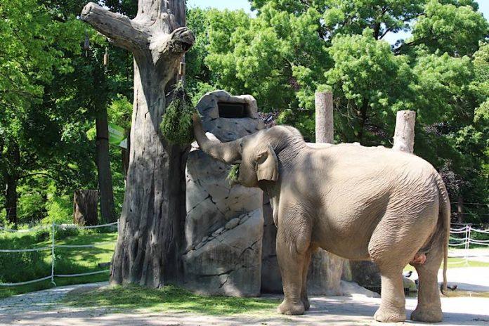 Elefantenkuh Jenny (Foto: Maike Franzen/Zoo Karlsruhe)