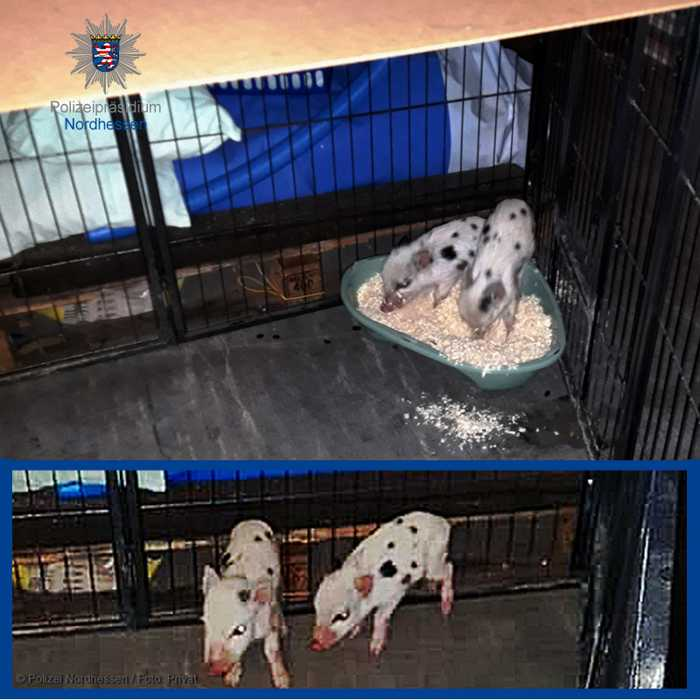 Bei Niestetal eingefangene Schweinchen: Polizei bittet um Hinweise zur Herkunft.
