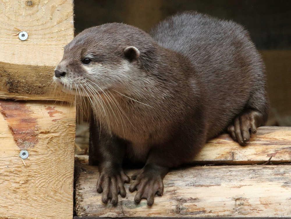 Fischotter (Zoo Landau/T. Schmeing)