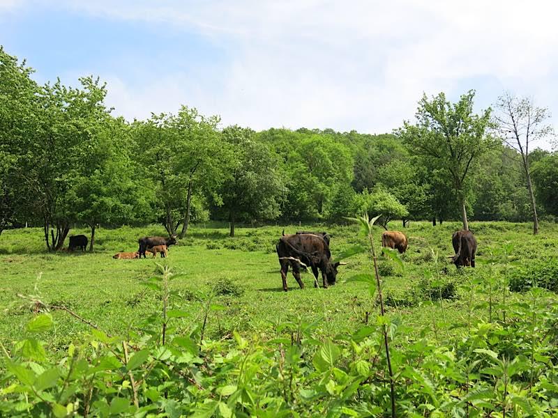 """Im Einsatz für eine abwechslungs- und artenreiche Landschaft: Heckrinder auf der Beweidungsfläche """"Am Wingertsberg"""" bei Gräfenhausen (Foto: Biosphärenreservat)"""