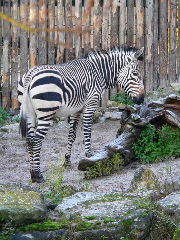Im Zoo Landau werden die seltenen Hartmann-Bergzebras gehalten. Auch sie gehören zu den Patienten der Zootierärzte. (Foto: Zoo Landau)