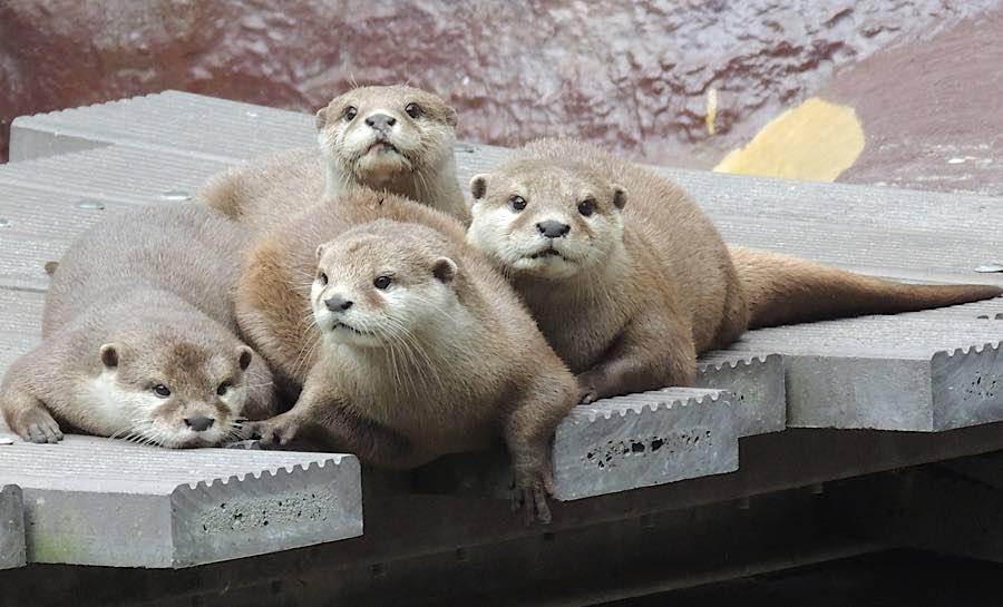 Zwergottergruppe (Foto: Zoo Landau)
