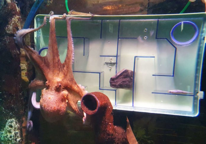 Oktopus am Labyrinth (Foto: SEA LIFE Speyer)